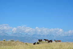 Kudde van paarden in de steppe Barguzinskaya Stock Fotografie