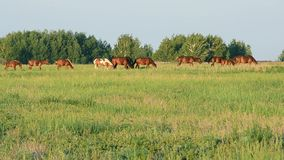 Kudde van paarden die op een groene weide bij zonsondergang weiden stock videobeelden