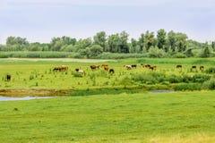Kudde van paarden die op een weide weiden Stock Afbeeldingen