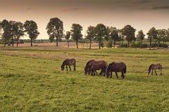 Kudde van paarden die op gebied in de avond weiden, Royalty-vrije Stock Foto's