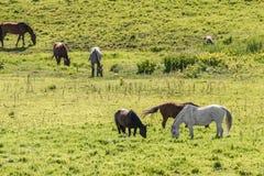 Kudde van paarden die op gebied weiden Royalty-vrije Stock Afbeeldingen