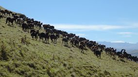 Kudde van paarden die op heuvel lopen stock video