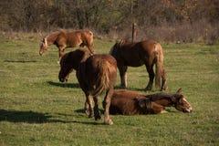 Kudde van paarden die op weiland weiden Stock Foto's