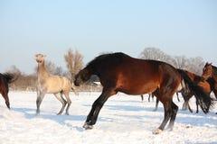 Kudde van paarden die vrij in de winter lopen Stock Foto's