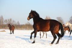 Kudde van paarden die vrij in de winter lopen Stock Fotografie