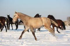 Kudde van paarden die vrij in de winter lopen Royalty-vrije Stock Fotografie