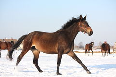 Kudde van paarden die vrij in de winter lopen Royalty-vrije Stock Foto's