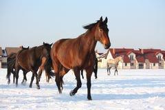 Kudde van paarden die vrij in de winter lopen Royalty-vrije Stock Afbeeldingen