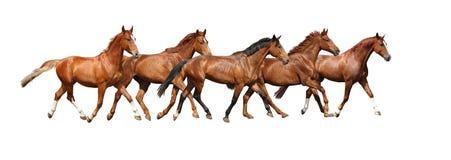 Kudde van paarden die vrij op witte achtergrond lopen Stock Fotografie