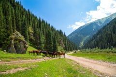 Kudde van paarden in een bergkloof Stock Foto