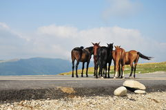 Kudde van paarden op bergenweide Royalty-vrije Stock Afbeeldingen