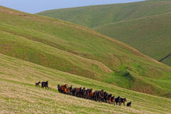 Kudde van paarden op een de zomerweiland Royalty-vrije Stock Afbeelding