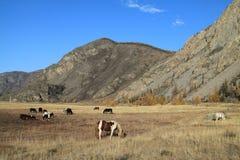 Kudde van paarden op een weiland in bergen Stock Fotografie