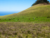 Kudde van Paarden op Gebied Stock Foto