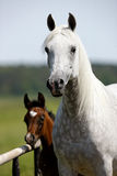 Kudde van paarden op weiland Royalty-vrije Stock Foto's