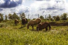 Kudde van paarden van verschillende kleuren op-waaier die en tegen stormachtige bewolkte hemel weiden lopen Stock Foto