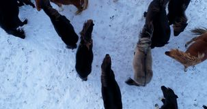 Kudde van poney in luchtmening stock video