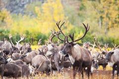 Kudde van rendier in de toendra in de herfst In de voorgrond een mooi herten volledig gezicht stock afbeelding