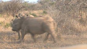Kudde van Rinocerossen die op de savanne lopen stock footage