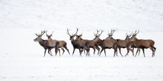 Kudde van rode herten, cervuselaphus, mannetjes in de winter op sneeuw stock fotografie