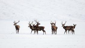 Kudde van rode herten, cervuselaphus, mannetjes in de winter op sneeuw royalty-vrije stock afbeelding