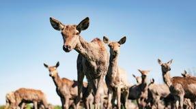 Kudde van rode herten hinds tegen duidelijke blauwe hemel Stock Foto's