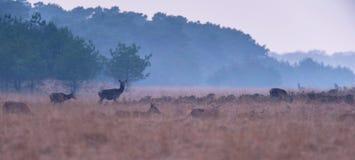 Kudde van rode herten in nevelig heuvelig landschap stock afbeeldingen