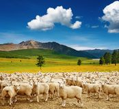 Kudde van schapen Stock Fotografie