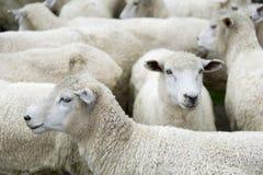 Kudde van schapen Royalty-vrije Stock Fotografie