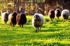 Kudde van schapen Royalty-vrije Stock Afbeelding