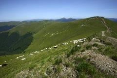 Kudde van schapen Stock Afbeelding