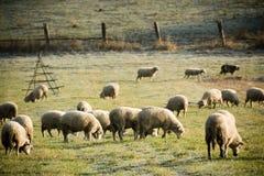 Kudde van schapen Stock Afbeeldingen