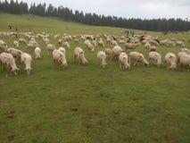 Kudde van schapen Royalty-vrije Stock Afbeeldingen