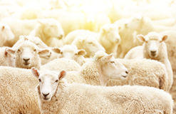 Kudde van schapen Stock Foto