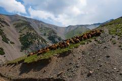 Kudde van schapen in bergen Stock Foto