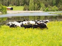 Kudde van schapen bij een idyllische weide Stock Afbeeldingen