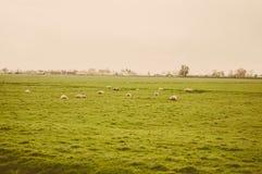 Kudde van schapen bij groene weide Royalty-vrije Stock Foto's