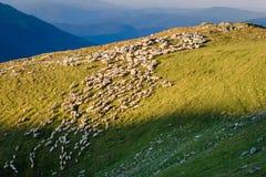 Kudde van schapen in de bergen Royalty-vrije Stock Foto