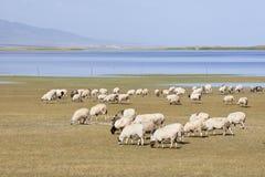 Kudde van schapen die dichtbij Qinghai-Meer weiden Stock Fotografie