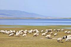 Kudde van schapen die dichtbij Qinghai-Meer weiden Royalty-vrije Stock Afbeeldingen