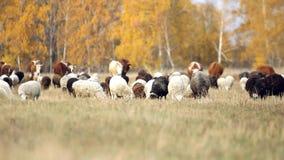 Kudde van schapen en koeien die in een weide dichtbij weiden stock videobeelden