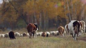 Kudde van schapen en koeien die in een weide dichtbij weiden stock video