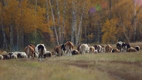 Kudde van schapen en koeien die in een weide dichtbij weiden stock footage