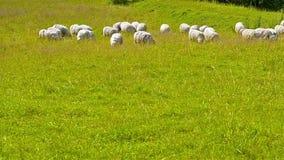 Kudde van schapen, lam en geiten die op gebied weiden stock videobeelden