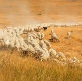 Kudde van schapen op een gebied van Toscanië royalty-vrije stock afbeeldingen
