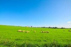 Kudde van schapen op een groene weide royalty-vrije stock fotografie