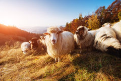 Kudde van schapen op mooie bergweide Royalty-vrije Stock Fotografie