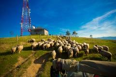 Kudde van schapen op mooie bergweide in de zomer royalty-vrije stock foto's