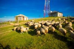 Kudde van schapen op mooie bergweide in de zomer stock foto