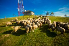 Kudde van schapen op mooie bergweide in de zomer stock fotografie